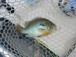 Shenandoah Redbreast Sunfish