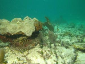 Florida Spiny Lobster