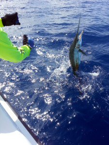 Sailfish jumping at the boat